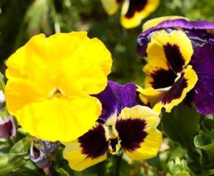 草花の写真撮影