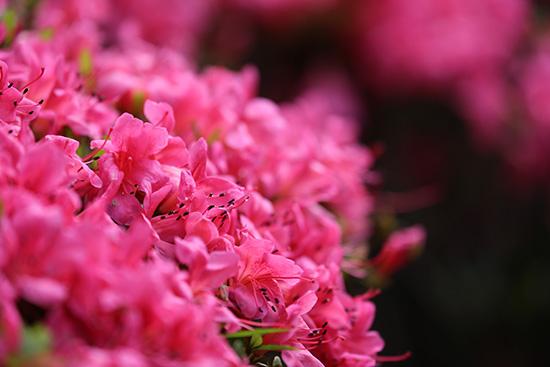 つつじの花を撮影しました!